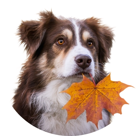 MR_Autumn leaf for a dogxxbbbbb.jpg